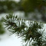 Winter 4 (pines)
