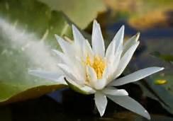 Buddhist flower